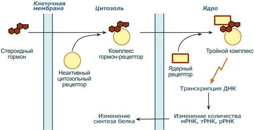 механизм действия гормонов