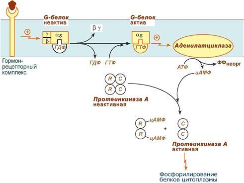 действия гормонов