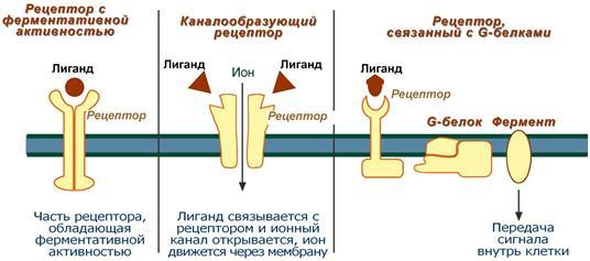 Типы мембранных рецепторов
