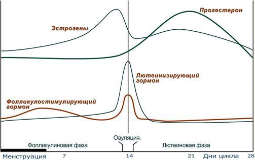 Гормональный цикл женщины