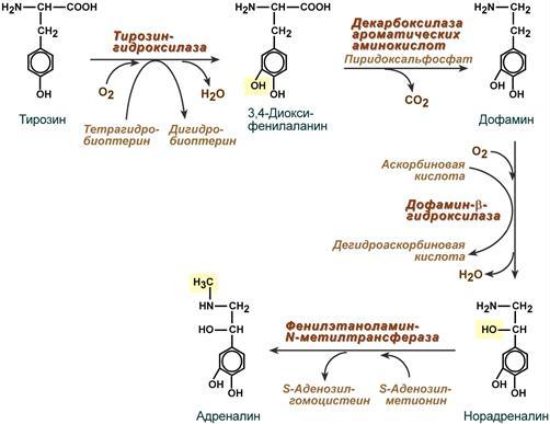 Реакции синтеза катехоламинов