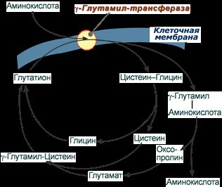 Транспорт аминокислот при участии глутатиона
