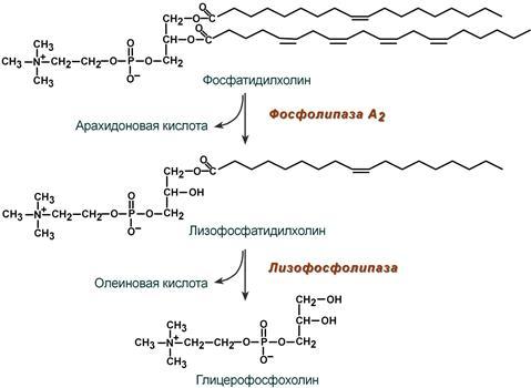 Гидролиз лецитина