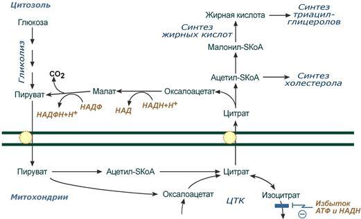 Общая схема биосинтеза