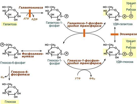 галактозы в глюкозу
