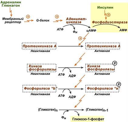фосфорилазы гликогена