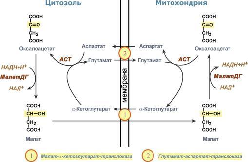 Схема работы малат-аспартатной
