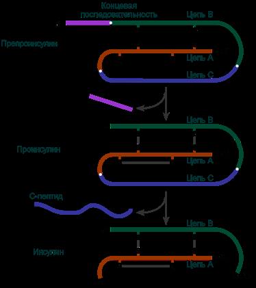 Схема синтеза инсулина