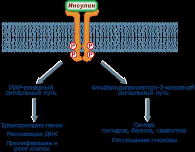 Обобщенные механизмы и эффекты инсулина