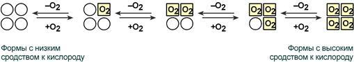 Механизм изменения конформации гемоглобина thumbnail