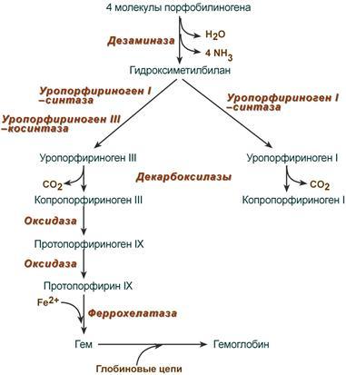 Синтез гемоглобина регуляция процесса thumbnail