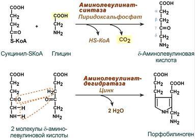 Синтез порфобилиногена (гема)