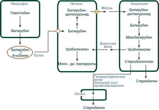 Схема нормального обмена билирубина в норме
